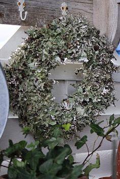 silvery oakmoss