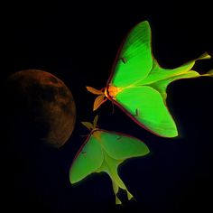 'Luna' Fine Art Photography/Digital Art by Mim White I took 2 pics one of the Luna Moth and another of the Moon and then used PS to create this image. A bit of help with Picasa as well.