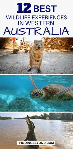 Western #Australia is home to 70% of native mammal species. Get up close by checking out this list of best wildlife experiences on Australia's West coast. #westcoastaustrlia #australianwestcoast #bestofOz #bestofaustralia #australianwildlife #visitOz #visitaustralia #exploreaustralia #australiatips #australiaguide #Oztips #austalianexperiences