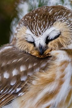 Northern Saw Whet Owl - Why can't I ever look so elegant & graceful while I'm sleeping??