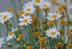 ~Daisies are like sunshine to the ground~ by nushuz, via Flickr
