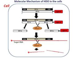 Hybrid Vigor for RNA-interfering Oligonucleotides- 2015: http://www.biotechniques.com/news/Hybrid-Vigor-for-RNA-interfering-Oligonucleotides/biotechniques-359986.html
