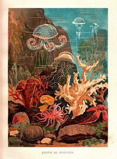 1883 Marine Fauna Antique Chromolithograph Natural by carambasvintage