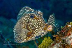 Smooth Trunkfish Grand Cayman