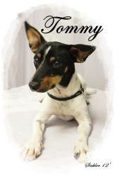 Tommy is an adoptable Rat Terrier/ CHIHUAHA mix in Emporia, KS. He looks like a Rat Terrier but is smalll only 10#  If interested in adopting a pet you will need to fill out a request to adopt. This needs to be on file overnight before you are able to adopt. Tommy is in foster care, lives with other dogs and is doing good on his housebreaking. learning obedience and waiting for a forever home.