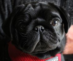 Pug by Ben Robson on 500px