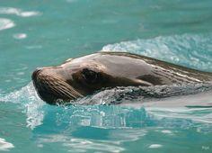 Basler Zoo, Seehund