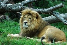 león-by-peter-harrison