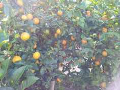 Limão bergamota ®SKLindemann
