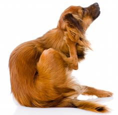 How To Naturally Get Rid of Fleas On Your Pets! - Whole Lifestyle Nutrition