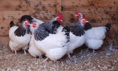 Light Sussex Chickens....this is the breed that my Butterball is....LOVE them!!  BIG birds! Lay light pink eggs