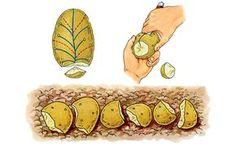 Grosse récolte de pomme de terre