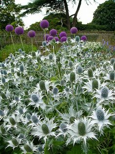 Miss Wilmott's Ghost! I had it once--it's leggy on the bottom--sure looks good with alliums