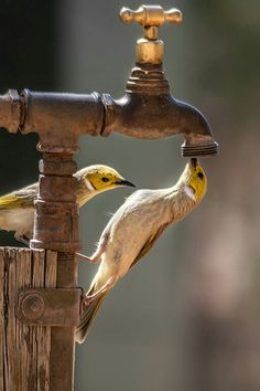 Birds trying to drink out of the spigot Pretty Birds, Beautiful Birds, Animals Beautiful, Beautiful Scenery, All Birds, Love Birds, Animals And Pets, Cute Animals, Wild Animals