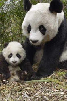 Mother panda and cub
