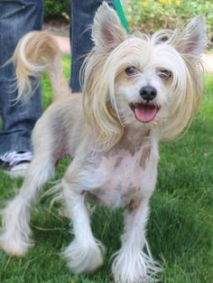 Joey is a handsome #ChineseCrested little boy who has a personality to match his unique looks. He is a happy, social boy who loves other #dogs and loves to meet new people. He is super affectionate and sweet, not to mention cute as a button. http://www.doggielife.com/joey/dogs/FYU69E