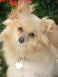 Princess is an adoptable Pomeranian Dog in Anaheim Hills, CA. Princess is a 5 1/2 pound, 2 year old absolutely beautiful girl! She is a true Princess Pom and gets very attached quickly. She does great...