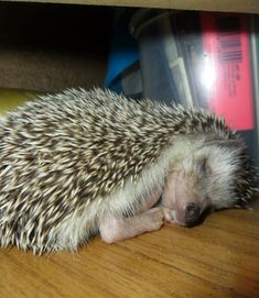 Hedgehog Erizo
