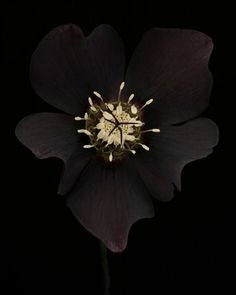Ron van Dongen Helleborus x Hybridus 'Odile' 2013
