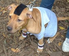 "Pit Bull Dressed as ""Mr. T""... being a fan of The A-Team and dogs- phenomenal pic."