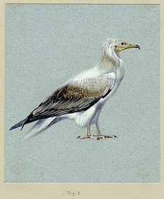 Carter MSS. vii.1.1b.2 watercolour, 13.3 by 15.3 cm Previous reproductions: ILN Christmas 1944, fig. on 34 http://www.griffith.ox.ac.uk/gri/Carter_birds.html