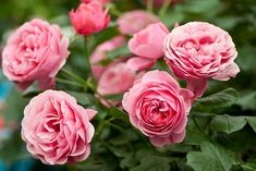 We have many types of roses. Rose bushes make a great statement in your garden. Roses are one of the most popular flowering plants in the world. Rose Garden Design, Rose Care, Damask Rose, Types Of Roses, Sloped Garden, Bloom, Rose Trees, Orchid Care, Garden Care