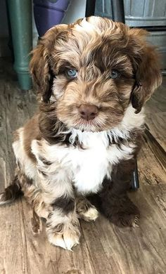 Labradoodles & Dogs - Everything there is to know about Labradoodles Super Cute Puppies, Cute Baby Dogs, Cute Little Puppies, Cute Dogs And Puppies, Cute Little Animals, I Love Dogs, Doggies, Cute Pups, Fluffy Puppies