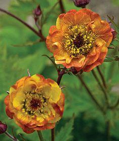 Geum, Alabama Slammer  Unique blooms are blazing red-orange, backed with purplish sepals.