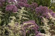 Eupatorium cannabinum flowers (Jason Russell, Twig Garden Design)