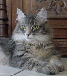 grey tabby norwegian forest cat - Amina Razzane