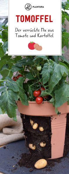 Tomoffel - Der verrückte Mix aus Tomate und Kartoffel: In unserem Artikel erfahrt Ihr alles Wissenswerte rund ums Pflanzen, Pflegen und Ernten der Tomoffel. Garden Care, Diy Garden Projects, Garden Crafts, Art Projects, Design Jardin, Garden Design, Garden Sitting Areas, Planting Roses, Roses Garden