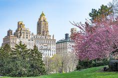 Cherry Blossom in Central Park - central park new york cherry blossom view