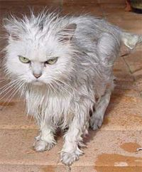 1000+ images about Wet Cats on Pinterest | Cats, Kitty and ...