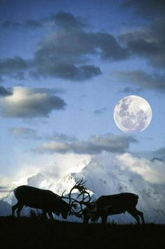 Zwei Männchen, Rangifer tarandus, Karibu, Rentier, Denali National Park. #moonshine #moonlight #moonpics http://www.pinterest.com/TheHitman14/moonshine-%2B/