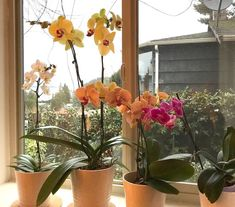 Orchids have the reputation for being rather temperamental plants, not at all easy to grow. And of course, among the some species and orchid cultivars, there are some and perhaps eve… Moth Orchid, Orchid Care, Diy Jardin, House Plants, Planting Flowers, Cactus, Planters, Gardening, Eve
