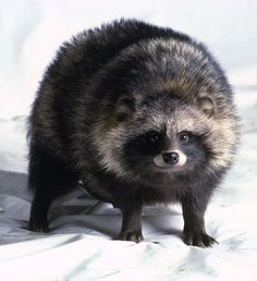 Raccoon Dog (Nyctereutes procyonoides) | Our Wild World