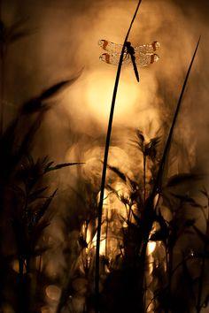 Bandheide | #sepia #dragonfly #silhouette