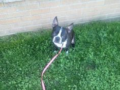 Harley is an adoptable Boston Terrier Dog in Little Falls, NJ.  Harley is a 5 year old boy that just wants to be loved and understood. Harley lacked guidance in his previous home and was left to his o...