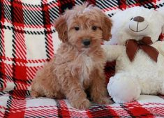 Buy Cheap Goldendoodle Puppies for Sale near me Goldendoodles For Sale, Goldendoodle Puppy For Sale, Labradoodle, Puppies For Sale, Buy Cheap, Cute Animals, Teddy Bear, Toys, Wildlife