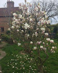 #magnolia #tree #Hooe