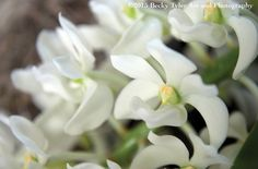 Rhipidoglossum Orchid Fine Art Photo Print by BeckyTylerArt
