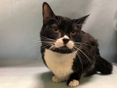 JOEY - 19798 - - Manhattan  *** TO BE DESTROYED 02/05/18*** Joey is a very sweet neutered male cat that recently caught the shelter cold and needs a caring new home….. -  Click for info & Current Status: http://nyccats.urgentpodr.org/joey-19798/