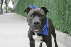 RETURNED AFTER 1 DAY!!!! ***ADOPTED 10/04/16 – RETURNED 10/05/16*** SUPER URGENT Manhattan Center SARGENTO – A1091533 MALE, BLACK / WHITE, AM PIT BULL TER MIX, 1 yr, 5 mos STRAY – STRAY WAIT, NO HOLD Reason STRAY Intake condition EXAM REQ Intake Date 09/27/2016, From NY 11692, DueOut Date09/30/2016