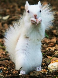 """white squirrel by source: This is actually not a true """"albino"""" because it does not have pink/red eyes."""