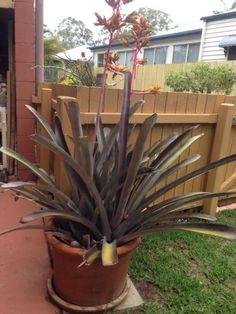 Bromeliad Plants Gumtree Australia Noosa Area Noosaville 1134888332 Bromeliads Plants Gumtree Australia
