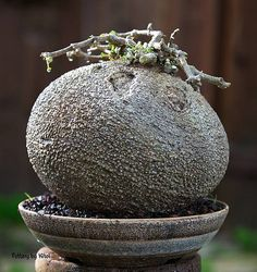 1000 Images About Fockea Edulis On Pinterest Rare