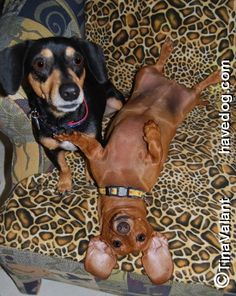 :3 Which one of us is the cutiest? doxie