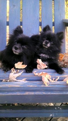 Pomeranians- Dogs with a touch of another color (such as those with white or tan paws)....If a Pom has a black furred body and has tan paws, the dog is black and tan.  Sable...a sable Pom has a brown or a gray (sometimes dark gray) coat with black on the tips of each hair.  This should not be confused with a black Pom.  Blue....This is a watered down, diluted black.  There is a distinct blue tint to the coat and to the nose....particularly when in the sunlight one can clearly see this.