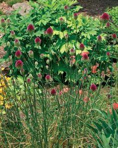 Alliums All Season Long - FineGardening