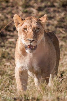 Lioness. | Masai Mara. | Kenya. |  www.ingogerlach.com